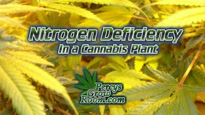 fix a Nitrogen Deficiency in a cannabis plant, plant problems, how to fix nitrogen deficiency in a cannabis plant, How to grow cannabis, how to grow weed, a step by step guide to growing weed, cannabis growers forum, need help with sick plant, what's wrong with my cannabis plant, percys Grow Room, the Grow Room, percys Grow Guides, we'd growing forum, weed growers community, how to grow weed in coco, when is my cannabis plant ready for harvest, how to feed my cannabis plant, beginners guide to growing weed, how to grow weed for personal use, cannabis plant deficiency, how to germinate cannabis seeds, where to buy cannabis seeds, best weed growers website, Cannabis Growers forum, weed growers forum, How to grow legal cannabis, a step by step guide to growing weed, cannabis growing guide, tips for marijuana growers, growing cannabis plants for the first time, marijuana growers forum, marijuana growing tips, cannabis plant problems, cannabis plant help, marijuana growing expert advice