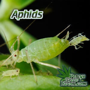 Aphids on a Cannabis Plant