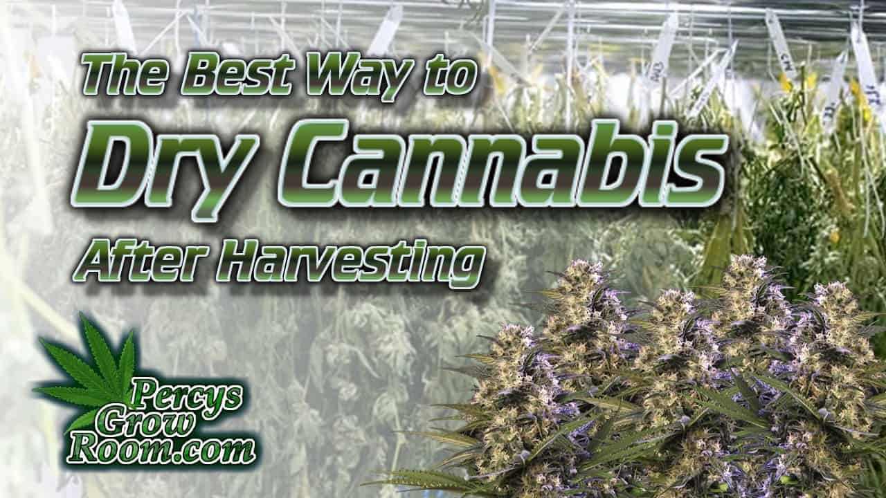 best way to dry cannabis, cannabis buds hanging from a string, percys grow room,