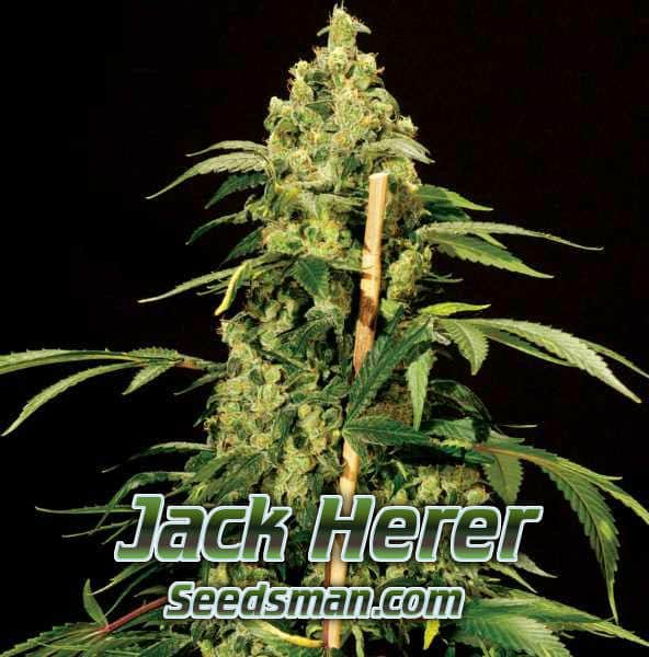 Jack Herer Grow Off, Percys grow room,