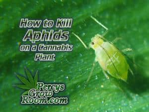 how to kill aphids on a cannabis plant, aphids on a cannabis plant, Cannabis growers forum, How to grow cannabis, how to grow weed, a step by step guide to growing weed, sick plant, what's wrong with my cannabis plant, percys Grow Room, the Grow Room, percys Grow Guides, we'd growing forum, weed growers community, how to grow weed in coco, when is my cannabis plant ready for harvest, how to feed my cannabis plant, beginners guide to growing weed, how to grow weed for personal use, cannabis plant deficiency, how to germinate cannabis seeds, where to buy cannabis seeds, best weed growers website, greenfly, how to kill aphids,