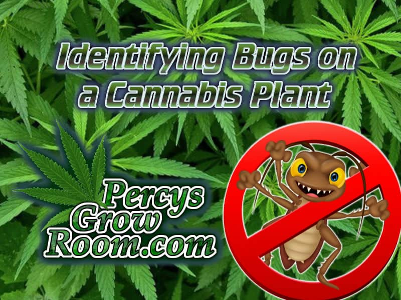 bugs on a weed plant, what bugs are on a cannabis plant, weed growers forum, weed growing website, how to grow weed percys grow room, cannabis growers forum,