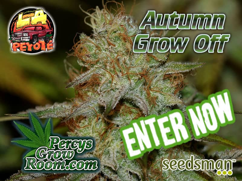 LA Peyote Kush, Seedsman Seeds, Percys Grow room, Free cannabis seeds,