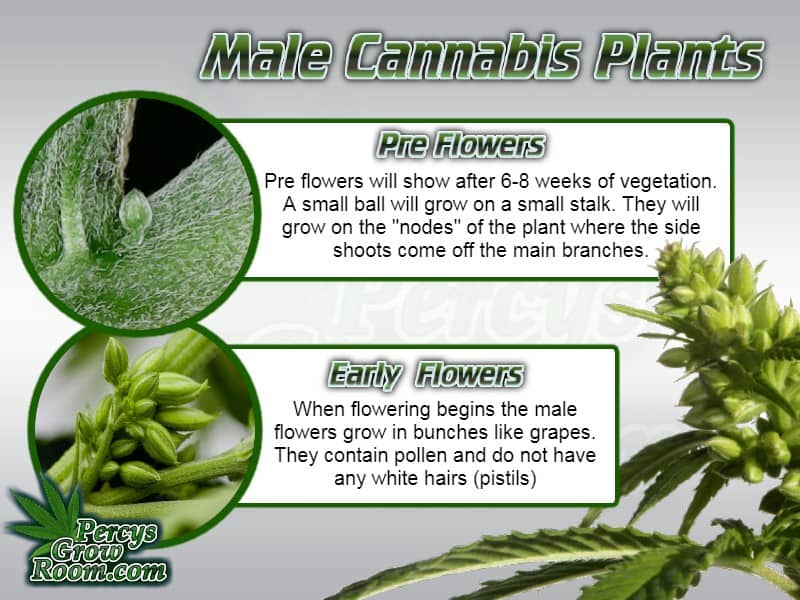 Early male cannabis plant flowers, how to tell if a cannabis plant is male, male cannabis plant flowers, cannabis growers forum, how to grow weed,