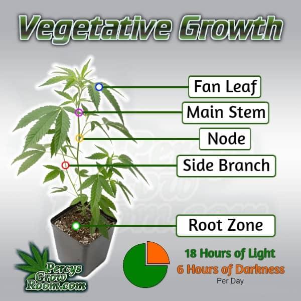 vegetating cannabis plant anatomy, how to grow cannabis, Parts of a cannabis plant, cannabis growers forum, percys grow room