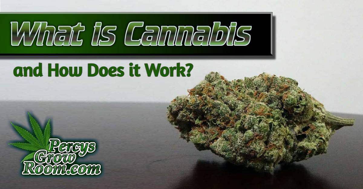 what is cannabis and how does it work, cannabis grow guide, percys grow room, Cannabis growers forum