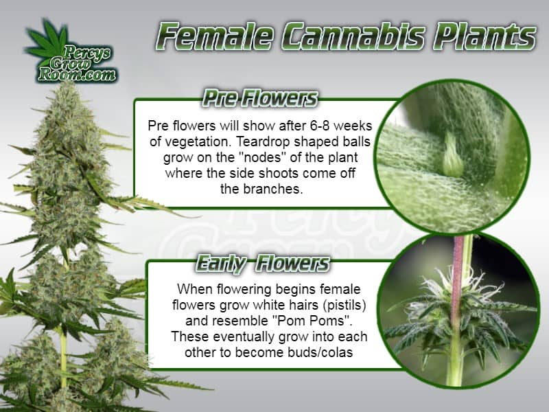 early female cannabis plant flowers, female cannabis preflowers, how to tell if a cannabis plant is female, Early signs of female cannabis plant, percys grow room, learn to grow weed,