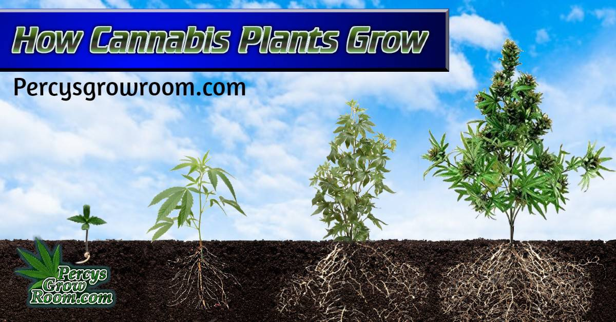 how cannabis plants grow, stages of cannabis plant growth, male of female cannabis plants, percys grow room