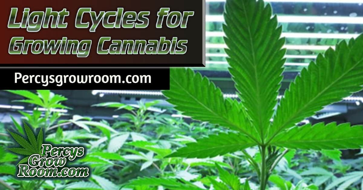 light cycle for growing cannabis, percys grow room, cannabis growers forum