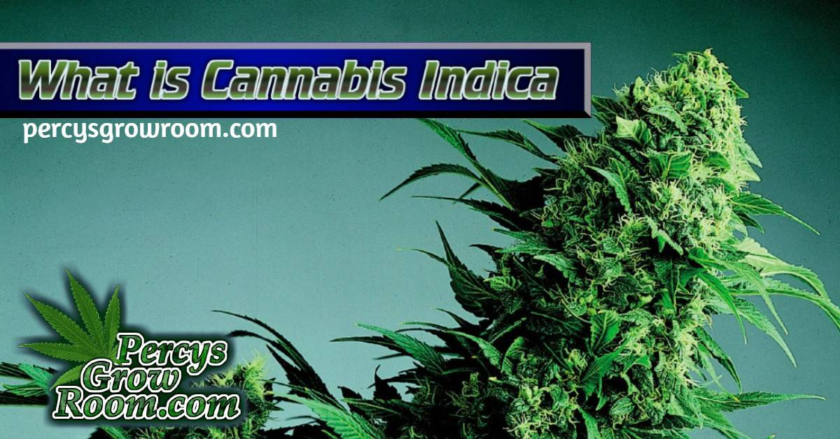 what is cannabis indica, learn how to grow,