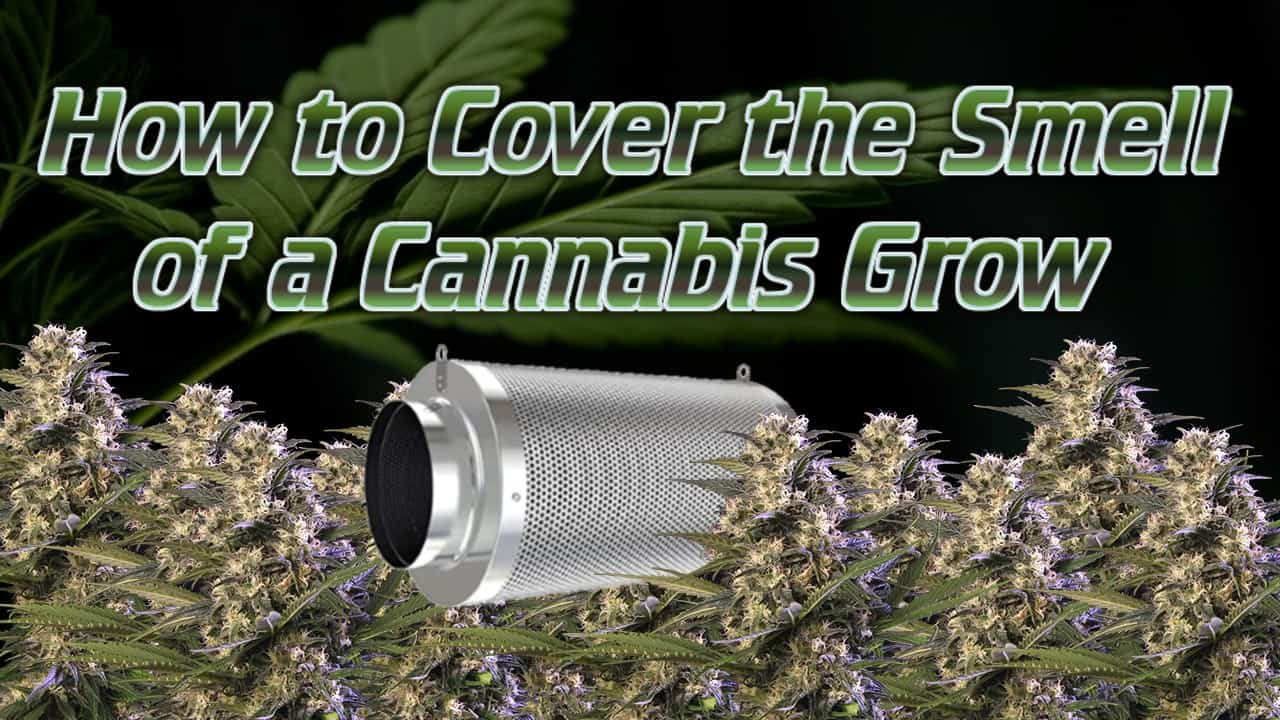 carbon filter amongst cannabis buds, how to cover the smell of cannabis plants,