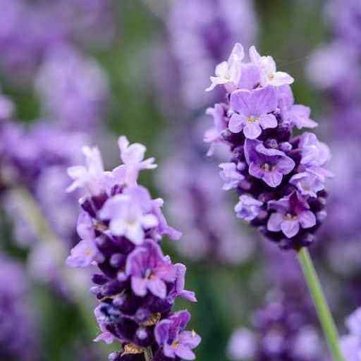 lavender plant, companion plants for cannabis