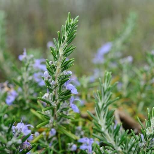 rosmary plant, companion plants for cannabis