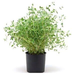 thyme plant, companion plants for cannabis