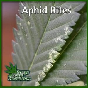 Signs of aphid on cannabis plant, percys grow room