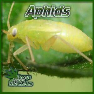 what do aphids look like, percys grow room, cannabis growers forum,