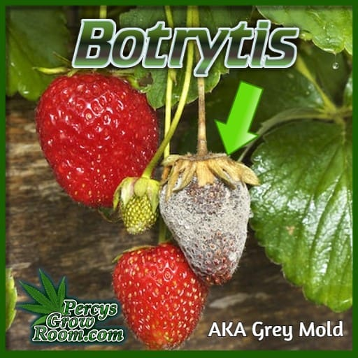 fruit infected with bud rot, botrytis, grey mold,