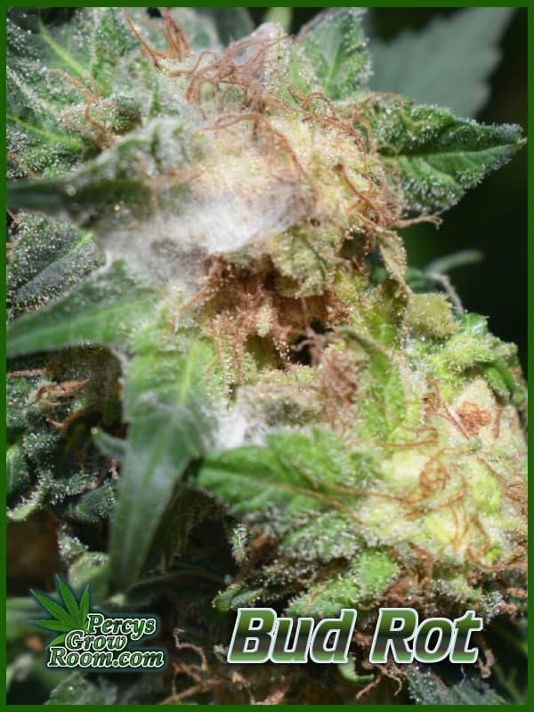 Bud rot on cannabis plants, white fuzz on bud of cannabis plant, cannabis growers forum,