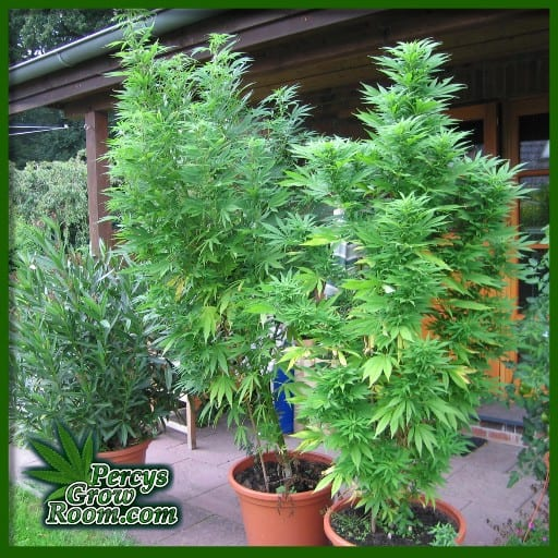 cannabis plants growing outdoors, percys growing room, learn to grow cannabis,