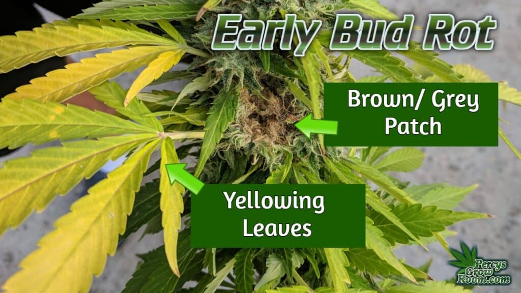 Early sings of bud rot on a cannabis plant, what is bud rot, percys grow room, cannabis growers forum,