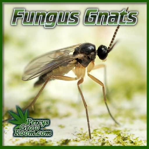 what do fungus gnats look like, guide to killing bugs on cannabis plants, Percys grow room