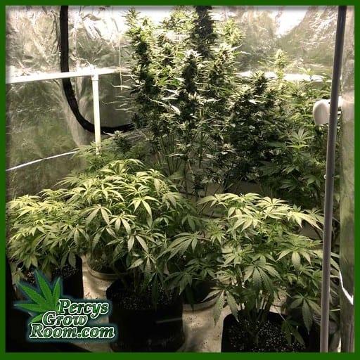 cannabis plants growing indoors, Percys grow room