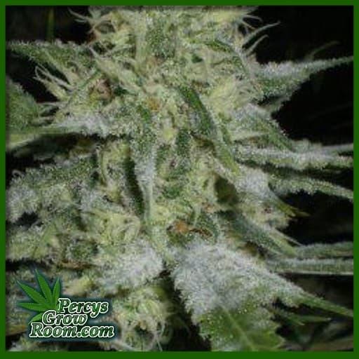 powdery mildew on buds of cannabis plants, what does powdery mildew look like, percys grow room, what is powdery mildew,