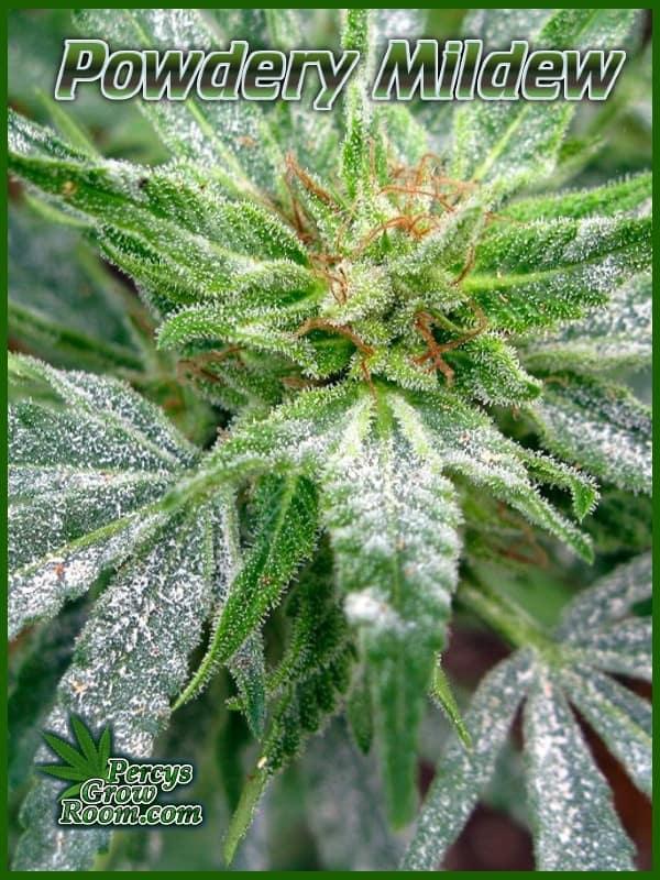 bad case of powdery mildew on cannabis plant, Percys Grow room, cannabis growing forum,
