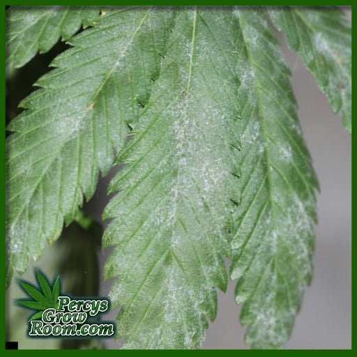 powdery mildew on cannabis leaves, what is powdery mildew, what does powdery mildew look like, cannabis forum, percys grow room,
