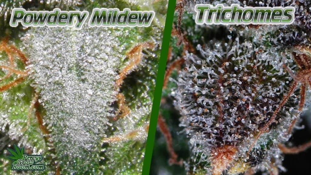 powdery mildew vs trichomes, trichomes vs powdery mildew, powdery mildew under a microscope, percys grow room, cannabis forum,