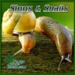 slug in grow room, slug on cannabis plants, do snails eat cannabis plants, website for cannabis growers, percys grow room