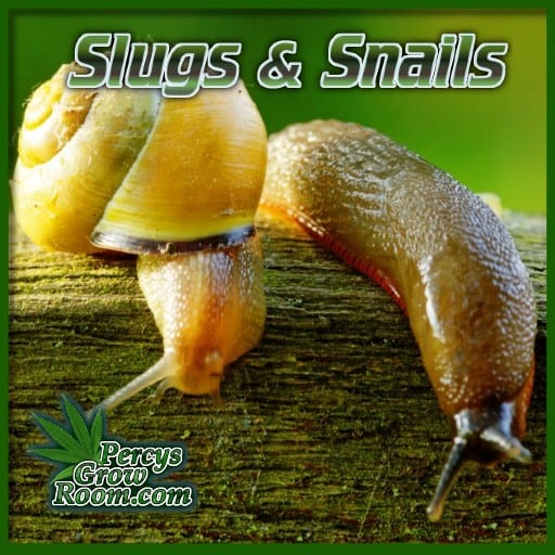 slugs and snails attacking cannabis plants, what do slug and snails look like, percys grow room,