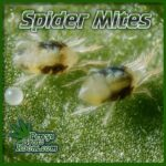 spider mites on cannabis plant, two spotted spider mite, percys grow room, how to kill bugs on cannabis plants,
