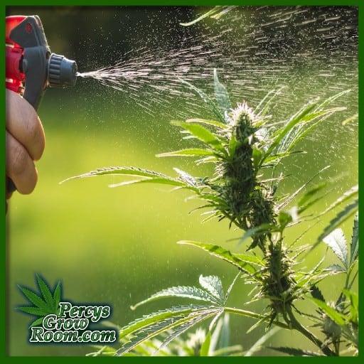 Spraying buds on cannabis plant, powdery mildew treatment for cannabis plants, how to get rid of powdery mildew,