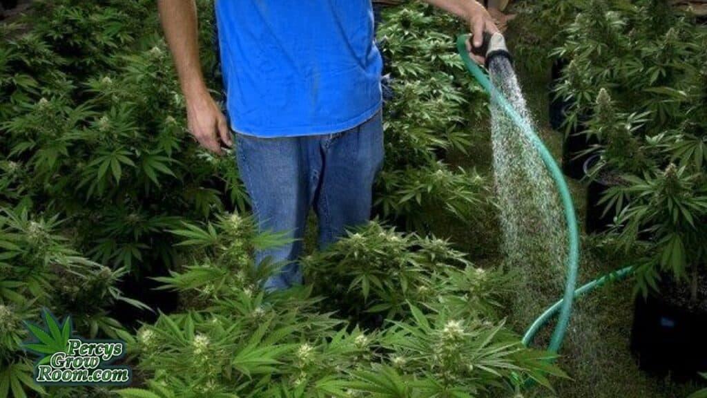 washing cannabis plants outside, cannabis plants outdoors,