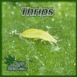 thrips, pests found on cannabis plants, growers forum, percys grow room,