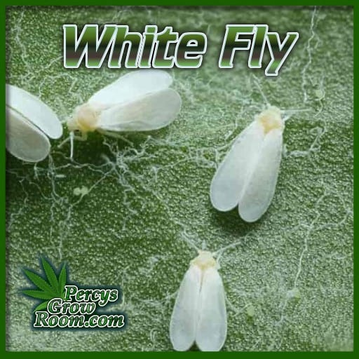 what does whitefly look like, is this bug white fly, bugs on cannabis plants, percys grow room, grow guides,