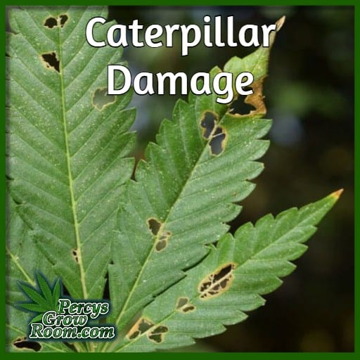 holes on cannabis leaves, caterpillar damage to cannabis leaf, cannabis growing forum, percys grow room,