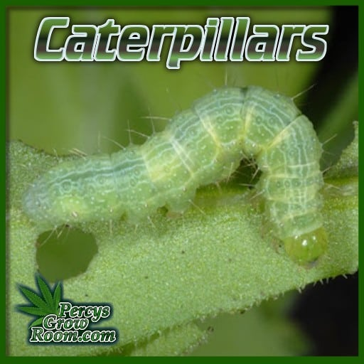 what do caterpillars look like, do caterpiallars eat cannabis leaves, bug on cannabis plant, weed growing forum, learn how to grow, percys grow room,