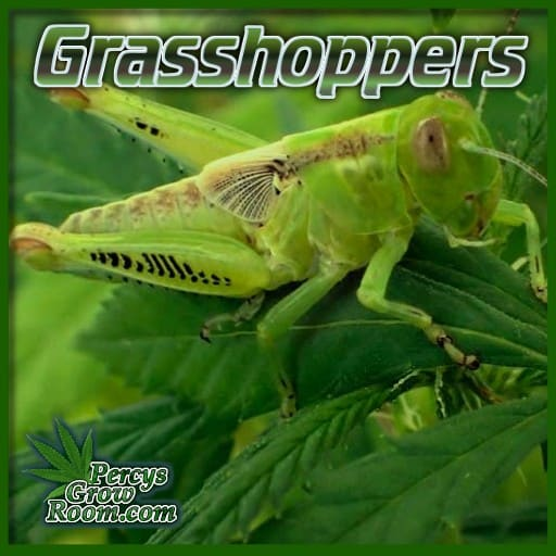 grasshopper on cannabis, do grasshoppers eat cannabis leaves, percys grow room, cannabis growers forum, get help with sick cannabis plant,
