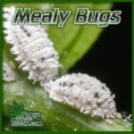 White powedery bugs on cannabis leaves, mealy bugs on cannabis plants, guide on killing bugs on cannabis plants, percys grow room,