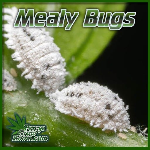white bugs on cannabis leaves, what to mealy bugs look like, bugs on weed leaves, percys grow room, forum for growing cannabis,