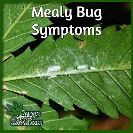 white powder under leaves, mealy bug symptoms, cannabis, percys grow room, treating bugs n cannabis plants,