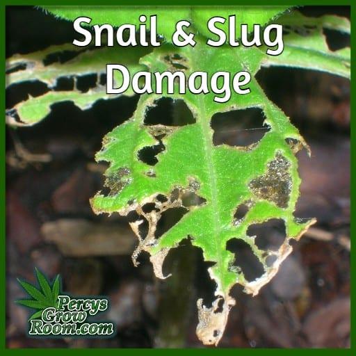 leaf eaten by slug or snail, Percys grow room,