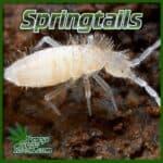 are springtails safe, do springtails hurt cannabis plants, springtails in cannabis plant soil, weed growing website, percys grow room,