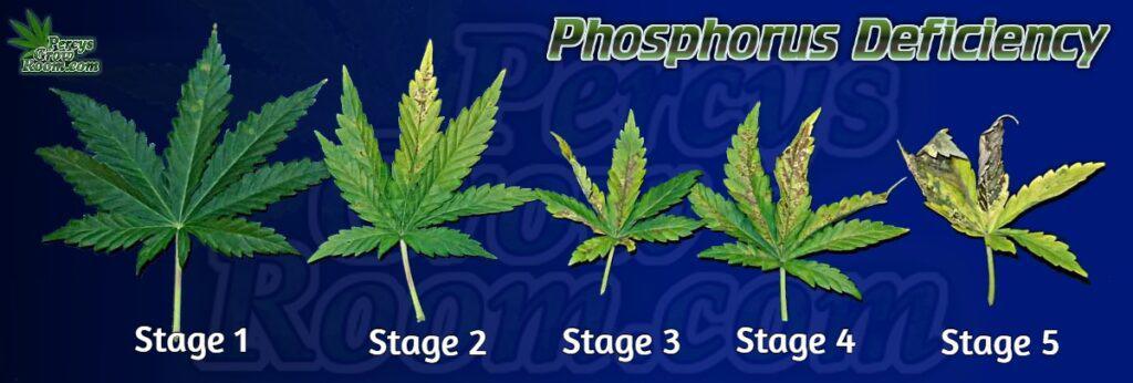 Stages of phosphorus deficiency in cannabis plants, cannabis plant deficiencies, percys grow room, learn how to grow cannabis, learn to grow cannabis forums,