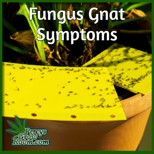 symptoms of fungus gnats, black flies in sticky traps, whats are fungus gnats, percys grow room,
