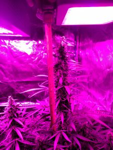 Day 72   Sweet Tooth cola