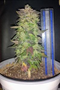 Purple GodBud1