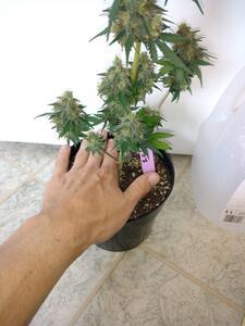 Day 77   Strawberry Cough with hand